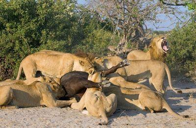 Картинки львов жизнь после многих лет